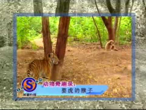 0 Monkey Annoys Two Tiger Cubs