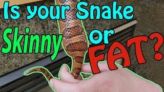 How to tell if your Snake is a Proper Weight by Snake Discovery