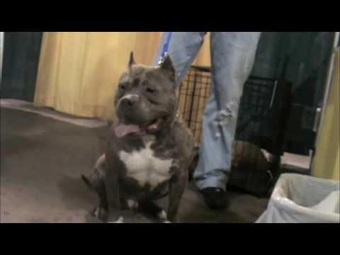 Brooklyn Blue Bullies : Maryland Bully Show (видео)