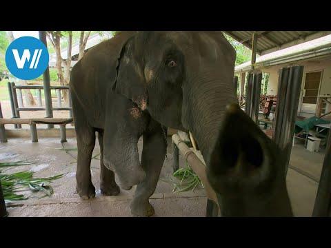 Thailand: FAE - das Elefantenkrankenhaus von Thailand ...
