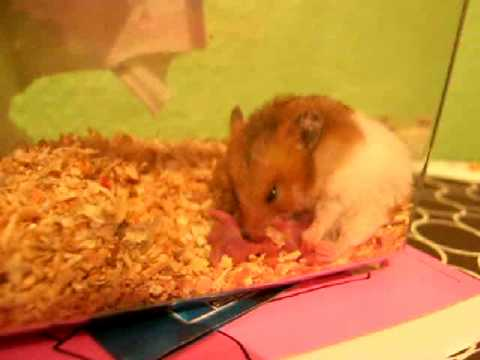 Hamster dando a luz.AVI