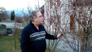 #286 Winterschneeball - Viburnum Bodnantense