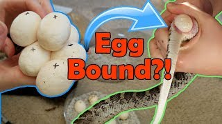 Video Incubating Bullsnake Eggs- My Worst Experience Ever MP3, 3GP, MP4, WEBM, AVI, FLV September 2018