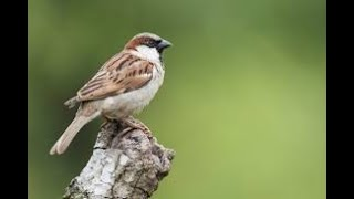 9 Reasons why have sparrows disappeared