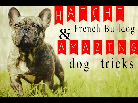 french bulldog: amazing tricks!