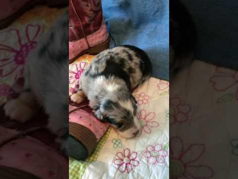Maddie, blue Merle Aussie puppy