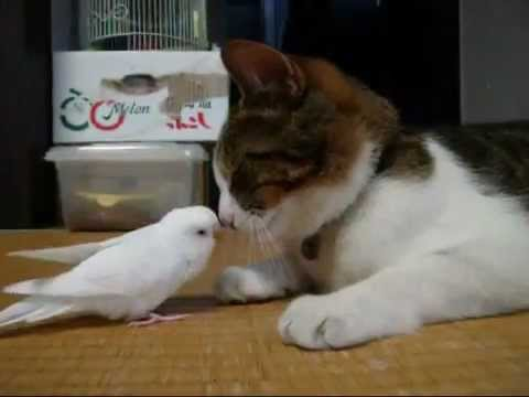 bird - Chama is a cat and U-chan is a budgie. And they are best friends. So waking the cat up is all in a day's play for the bird. Watch and see.