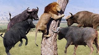 Video LIVE: Discovery Wild Animals - Moments Lion Are Defeated By Buffalo - Wild Animal Documentary 2019 MP3, 3GP, MP4, WEBM, AVI, FLV Maret 2019