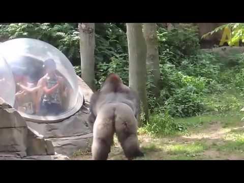 隔著厚厚的玻璃觀賞大猩猩,突然的舉動讓所有人嚇死!