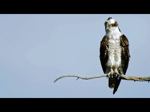 Peregrine Falcon Attempts to Steal Prey from Osprey