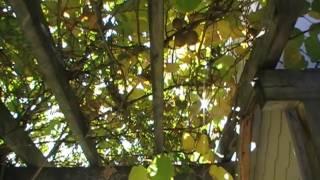 #34 Wann werden Kiwi geerntet?