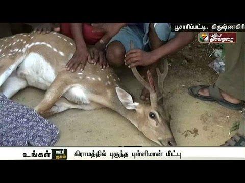 Spotted-deer-searching-for-water-rescued-in-Krishnagiri