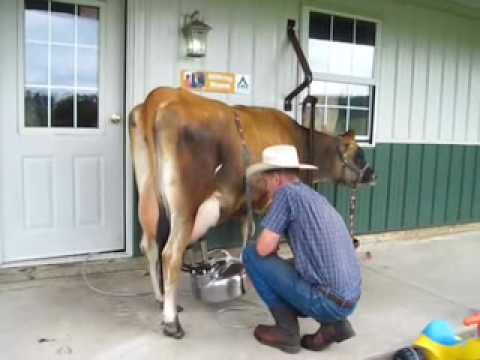 Milking a Jersey Cow with a Surge Belly Milker, then Hand-Cranking Ice Cream