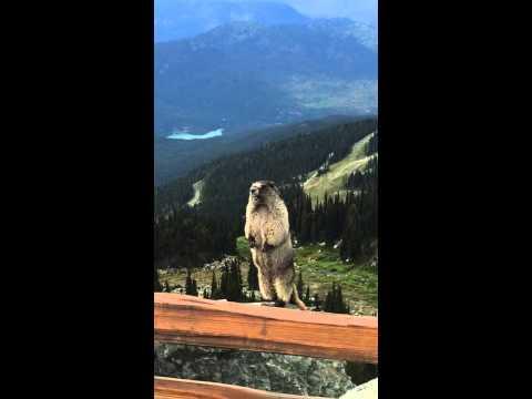 What a marmot scream sounds like (18s)