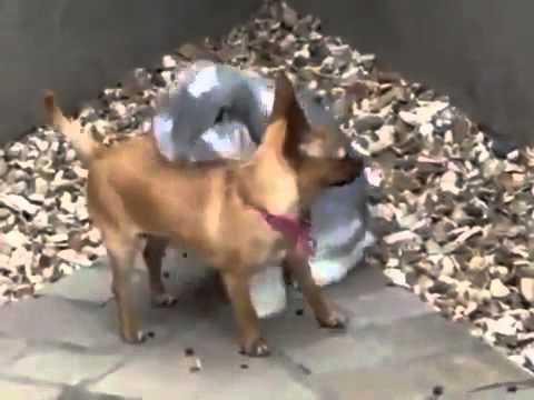 Rabbit & chihuahua funny