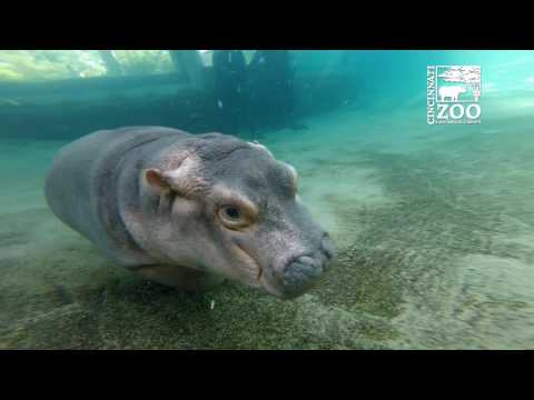 Baby Hippo Fiona Explores Her Outdoor Pool for the First