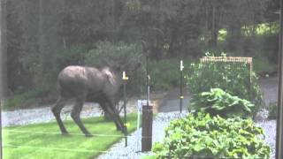 Video Mr. Moose meets the electric fence MP3, 3GP, MP4, WEBM, AVI, FLV November 2017