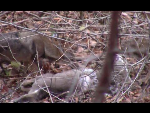 Coyote Run Down And Kill Deer