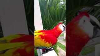 Wacky the Scarlet Macaw