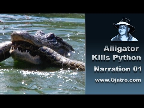 Alligator Menyerang Python 01 - Narration