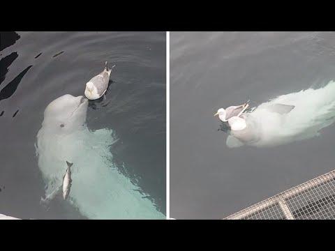 Uma Estranha Amizade entre Uma Beluga e uma Gaivota
