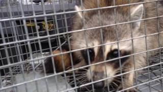 Trapper Adair releasing a nuisance raccoon to his new home
