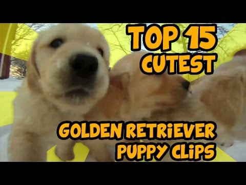 golden retreiver - Countdown of the most adorable golden retriever puppy clips on YouTube. See the full and original videos from the links below: 15. Funny Golden Retriever Puppy. divertido cachorro golden...