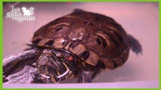 Hola bichejos, en este vídeo os quería contar cuales son algunas de las enfermedades respiratorias más comunes en tortugas acuáticas y semiacuáticas. Veremos cuales son sus síntomas, tratamiento y prevención. Por supuesto, os recuerdo que ante los primeros síntomas, lo responsable es ir inmediatamente al veterinario para que pueda tratar la enfermedad a tiempo.Para ver más vídeos de tortugas de agua: https://goo.gl/ivRErzVídeos sobre tortugas de tierra: https://goo.gl/DH4P4iSuscríbete: https://goo.gl/thLKcBMis redes sociales:Twiter------ https://twitter.com/lagataveganaFacebook----- https://www.facebook.com/lagataveganayt Instagram -------- https://www.instagram.com/lagataveganaytEmail -------- lagatavegana@gmail.com (no contesto dudas)Google +  ------- https://plus.google.com/+LaGataVegana Es posible que tus dudas ya las haya respondido antes en algún vídeo. Te recomiendo que compruebes si es así para que obtengas respuesta lo antes posible. Si quieres ayudarme en los gastos veterinarios de los animales que recojo de la calle : PayPal : lagatavegana@gmail.com Patreon: https://goo.gl/scpR7X¡Gracias!  ;)Música de la librería de YouTube:Electrodoodle de Kevin MacLeod está sujeta a una licencia de Creative Commons Attribution (https://creativecommons.org/licenses/by/4.0/)Fuente: http://incompetech.com/music/royalty-free/index.html?isrc=USUAN1200079Artista: http://incompetech.com/