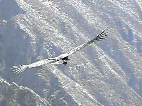 El vuelo del Cóndor-Colca