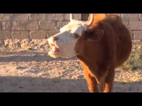 una mucca che fa dei versi esilaranti!