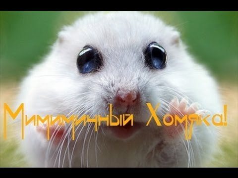 Маленький мимимичный Хомяк (котик... НЕВАЖНО!!!) (видео)
