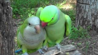 Cute Parrot Couple Kissing