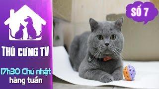 Kỳ 7: Giới thiệu về mèo Anh lông ngắn
