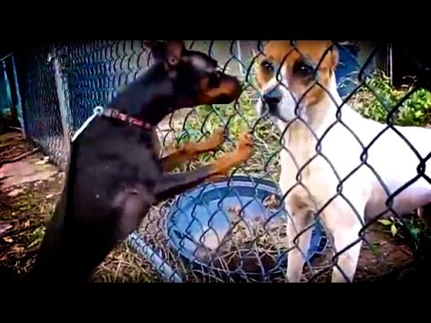 Dogs Fall in Love: Funny Dog Walk Story (Includes Scary Pit Bull) Cute Dog Videos