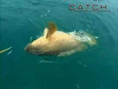 BIG GAME FISHING - Funny Big Game fishing clip. Man catches huge Goliath Grouper and gets uppercut by its tail.