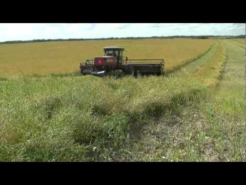 swathing - Swathing Canola with a Hesston swather. There is quite a bit of wind noise ,sorry for that.