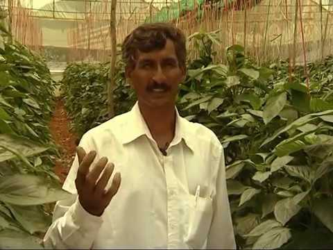 Green house capsicum Kannada Part 3