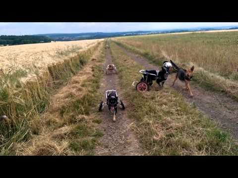 Disabled Dogs In Wheelcarts Play In Field