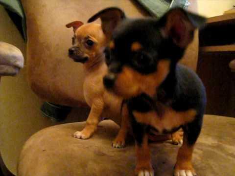 8 week old chihuahua puppies