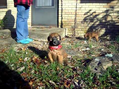 Zack has a wet belly - Soft Coated Wheaten Terrier