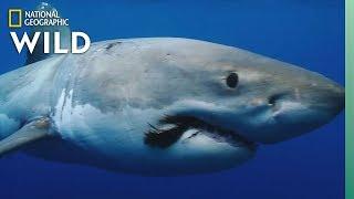 Shark Awareness Day: It's Totally Jawsome | Nat Geo Wild by Nat Geo WILD