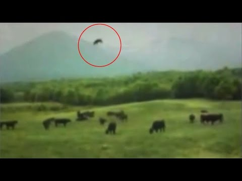 Cow Abduction Caught On Camera