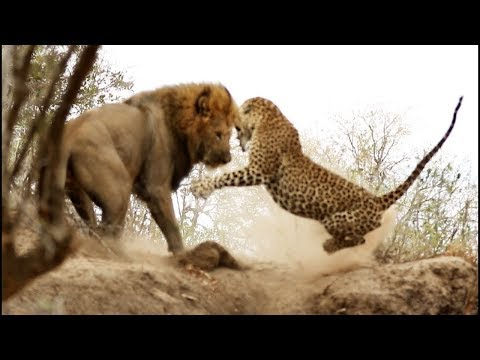 ВЕРСУС ЛЕОПАРДА  Леопард против льва страуса дикобраза - DomaVideo.Ru