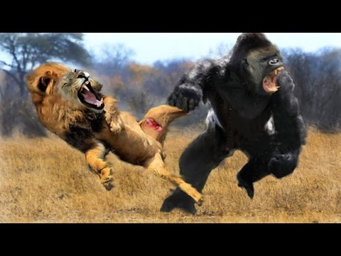 Lion Video -LIONS ESCAPING FROM DEATH National Geographic
