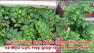 Cách Trồng Rau Ngót trong thùng xốp và Mẹo Cực Hay giúp rau lên mơn mởnRau Ngót, trồng rau ngót, vườn rau ngót, Cách Trồng Rau NgótTheo khampha.vn