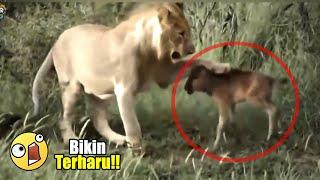 Video Sulit Dipercaya!! 15 VIDEO HEWAN YANG MENOLONG BINATANG LAINNYA DI DUNIA MP3, 3GP, MP4, WEBM, AVI, FLV Januari 2019