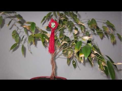 Ficus Dying - Yellow Leaves (Time-lapse video)