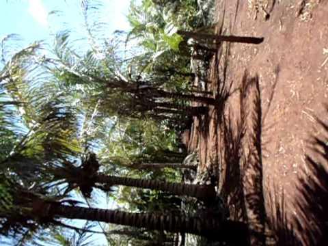 caminho de coqueiros em alvorada do sul