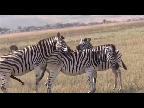 Horse Mating compilation 2020 - Zebra breeding - Animals mating
