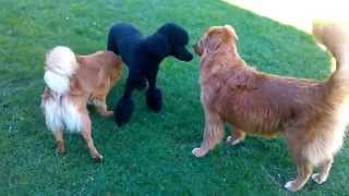 Funny Dogs. Poodle And Toller Retrivers Are Playing.